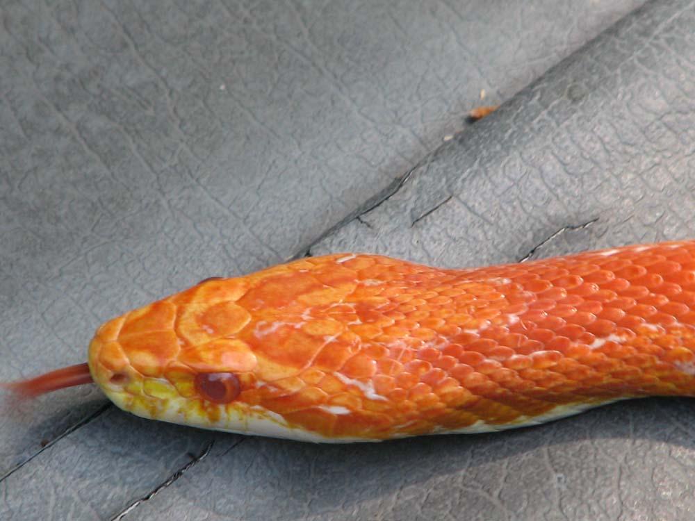 Albino Corn Snake Albino Corn Snake Named